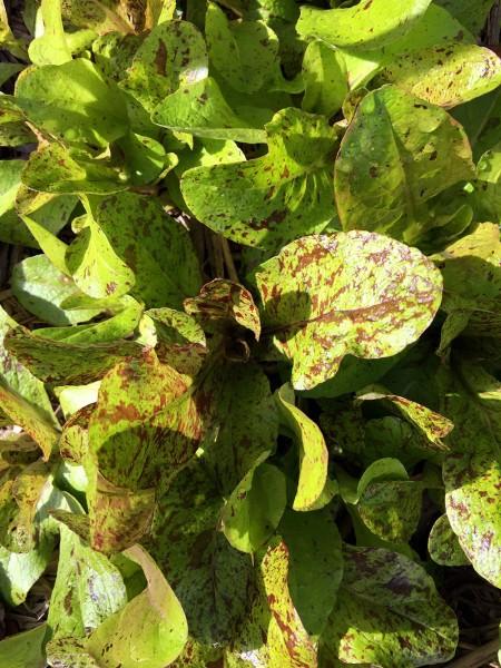 freckles_lettuce_2