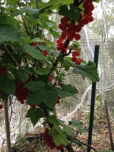 red_currants03