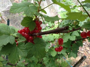 red_currants04