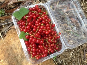 red_currants05